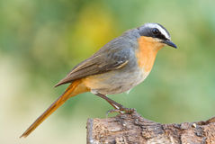 Cape robin chat. Adult breeding male Royalty Free Stock Images