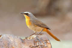Cape robin chat. Adult breeding male Stock Photo