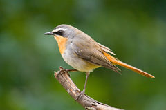 Cape robin chat cossypha caffra Royalty Free Stock Photos