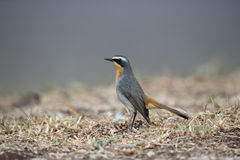 Cape robin-chat, Cossypha caffra Stock Photos