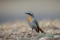 Cape robin-chat, Cossypha caffra Royalty Free Stock Photography