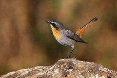 Cape robin-chat. The Cape robin-chat Cossypha caffra sitting on the stone with brown background stock images