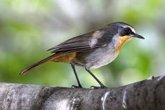 Cape Robin Chat stock images