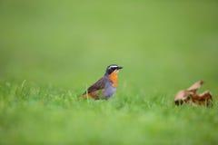 Cape robin-chat Stock Photo
