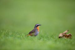 Cape robin-chat Royalty Free Stock Photography