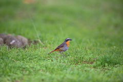 Cape robin-chat Royalty Free Stock Images