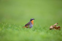 Cape robin-chat Royalty Free Stock Photo