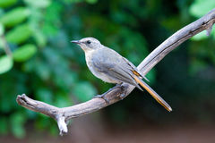 Cape robin chat juvenile cossypha caffra Stock Photo
