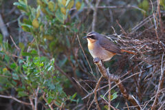 Cape Robin Chat Stock Photo