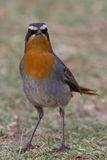 Cape robin-chat Royalty Free Stock Image
