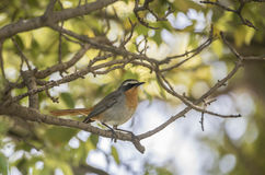 Cape Robin Chat (Cossypha caffra) in South Africa Stock Image