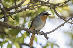 Cape Robin Chat (Cossypha caffra) in South Africa Stock Photography