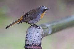 A Cape Robin (Janfrederik) Stock Photos