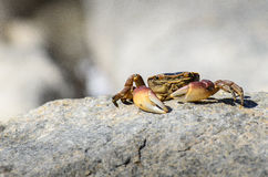 Cape Rock Crab Royalty Free Stock Photos