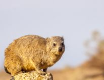 Cape rock hyrax perched on rock stock photos