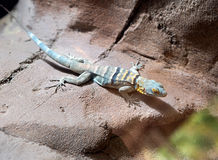 Cape rock lizard Royalty Free Stock Image