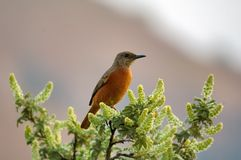 Cape Rock-Thrush (Monticola rupestris) Royalty Free Stock Photography