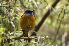 Cape Rock Thrush Monticola rupestris Stock Photography