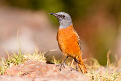 Cape rock thrush sitting in the sun Stock Photography