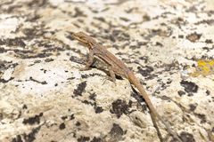 Cape Royal Lizard. A small lizard in Cape Royal, Grand Canyon Royalty Free Stock Photos