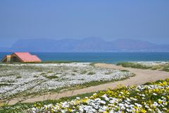 Flowers by the Sea. Cape west coast, south africa. Cape of sea with blooming wildflowers in cape west Coast, region cape town, Biosphere trails. South africa stock photos