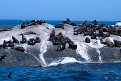 Cape seals Stock Image