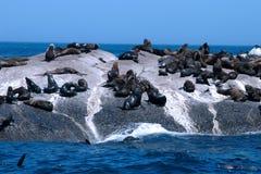 Cape Seals Stock Image