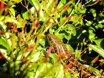Cape Skink in Jasmine Stock Image