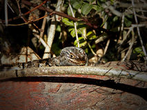 Cape Skink Royalty Free Stock Images