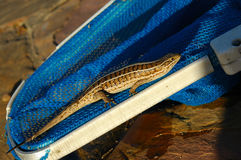 Cape Skink lizard Stock Photo