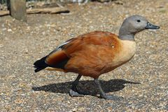 Cape or South African Shelduck royalty free stock image