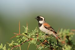 Cape sparrow Stock Image