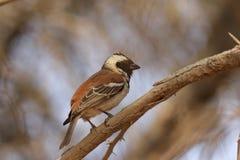 Cape Sparrow Stock Images