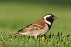 Cape sparrow Stock Photos