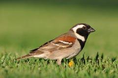 Cape sparrow. Photo taken near oudtshorn, south africa Stock Photos
