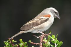 Cape Sparrow Bird Stock Images