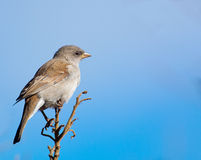 Cape Sparrow with blues Royalty Free Stock Photo
