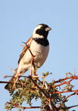 Cape Sparrow or Mossie Royalty Free Stock Image