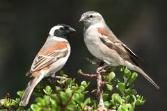 Cape Sparrow Pair Royalty Free Stock Images
