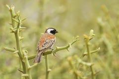Cape Sparrow - Passer melanurus royalty free stock photo