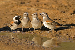 Cape sparrows. (Passer melanurus) at the water, Kalahari, South Africa royalty free stock photo