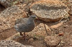 Cape Spurfowl or Cape Francolin Royalty Free Stock Image