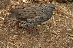 Cape Spurfowl or Cape Francolin Stock Photo
