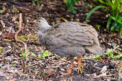 Cape spurfowl. A Cape spurfowl is walking in the bush in Botanic Garden of Capetown in South Africa. It is a bird with brown,gray,coffee ,black feather. The royalty free stock photos