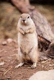 Cape Squirrel. Standing Cape Squirrel on dirt in ZOO Czech Republic stock photography