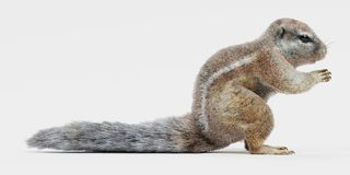 Cape Squirrrel. Realistic 3D Render of Cape Squirrrel royalty free illustration