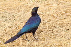 Cape starling at the ground Royalty Free Stock Image