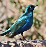 Cape Starling Lamprotornis nitens Stock Image