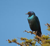 Cape Starling looking left Royalty Free Stock Photos