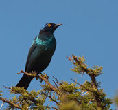Cape Starling looking to right Royalty Free Stock Photo